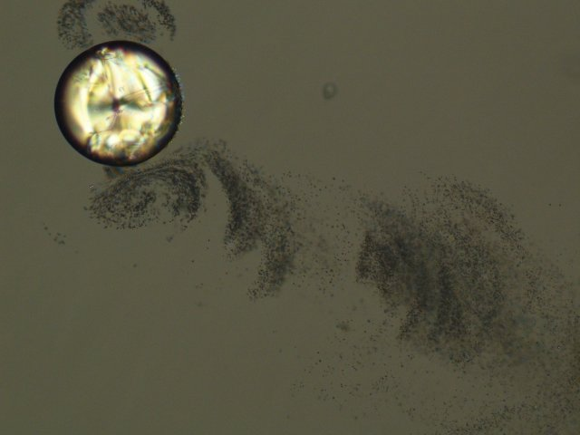 Fig 1: Micrograph (polarizers not completely crossed) of a MBBA drop floating in an aqueous C14TAB solution (c = 10 weight%), showing the spontaneous expulsion of tiny droplets into the aqueous phase.