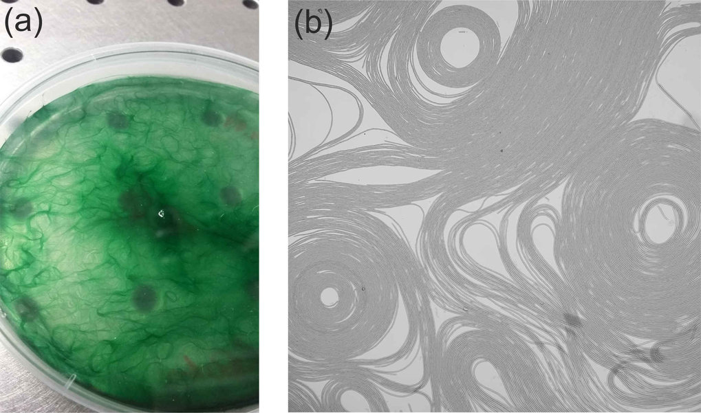 Fig. 4 Pattern formation in filamentous green algae . a) Formation of filament bundles in a Petri dish. b) optical micrograph of algal filaments moving in 2D, between an agar plate and a glass slide. Filaments move almost only along the path defined by their contour, with velocities of a few microns per second (the image is about 1 mm across). Their collective motion appears like traffic on a multi-line freeway. The topological defects in the pattern (circular and triangular voids) are stable over days.
