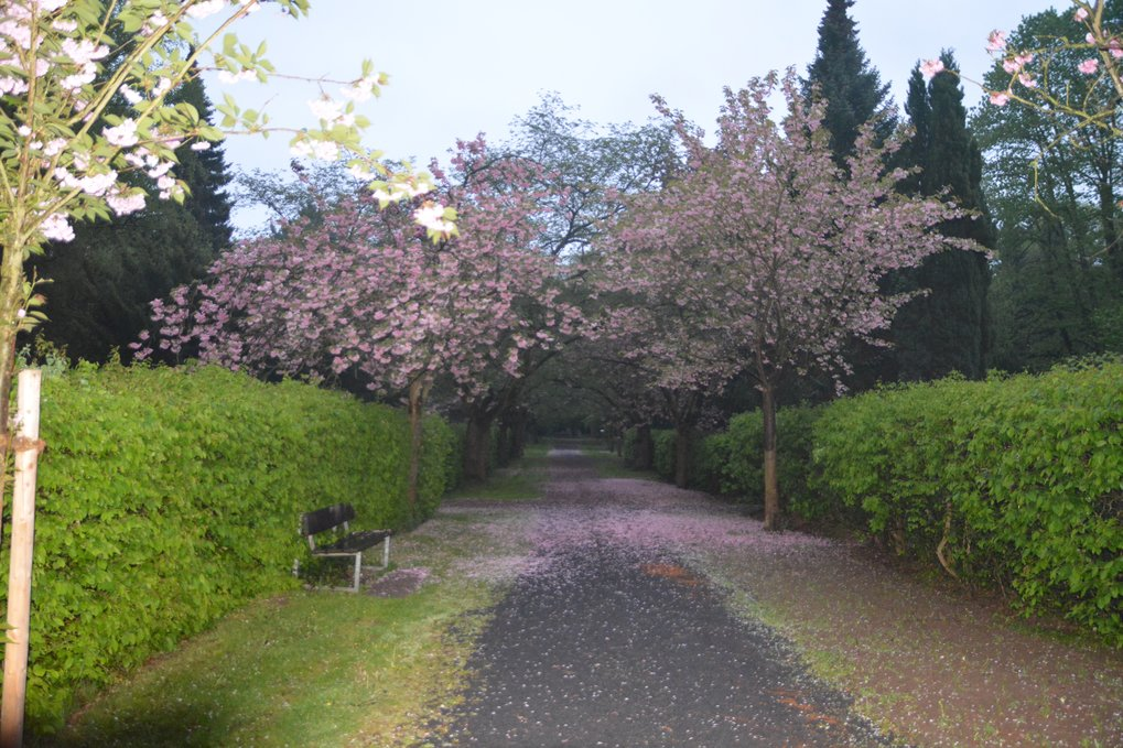 Blooming trees at the Göttinger main cemetry
