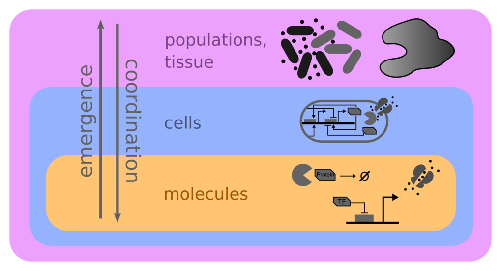 How do complex dynamics and patterns in living systems emerge from stochastic molecular interactions in the cell, how are they coordinated at the population/tissue level, and what role do environmental constraints and interactions play in shaping and maintaining them?